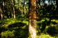 San Juan, Vochysia guatemalensis, an excellent construction wood
