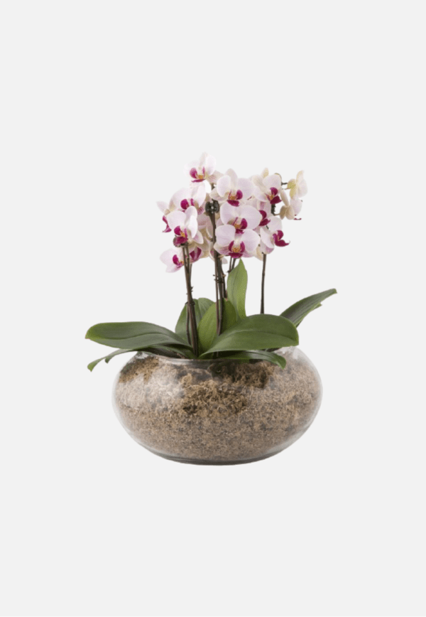 Multi Spike Orchid in Glass Container