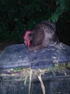 Cocotte la poule bleue