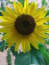 Le tournesol, symbole d'été