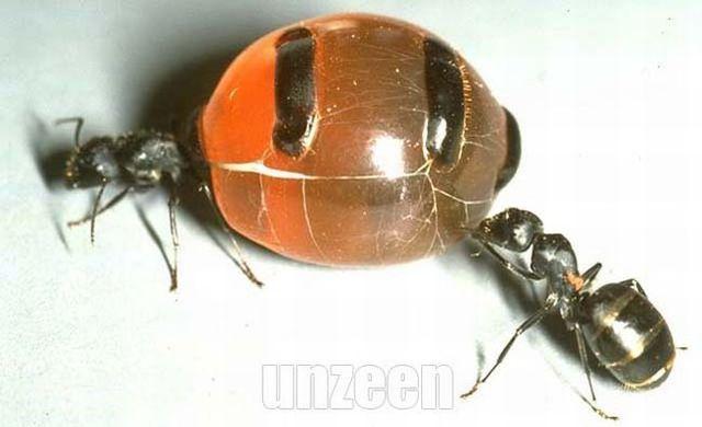 Honeypot ants (5 pics)