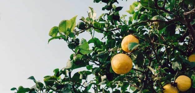 Kako uzgojiti limun iz sjemena?