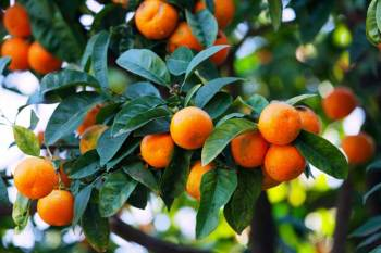 Ljekovite mandarine u blagdansko vrijeme