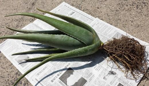「アロエベラの苗」在庫切れのお知らせです。
