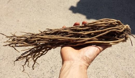 アスパラの根を植えます!