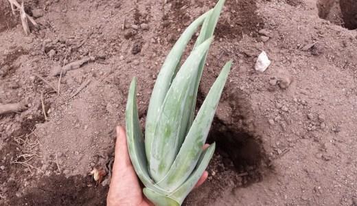 アロエベラの育て方 |植え替え時期、土、肥料、土選びをアロエ農家が解説