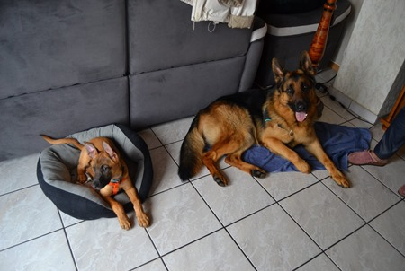 Chiot ou chien