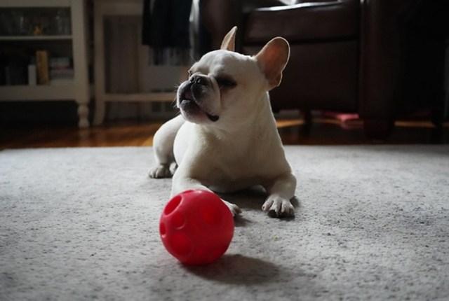 Chien couché avec sa balle