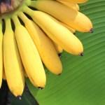 雨!低気圧!憂うつな気分にバナナ!