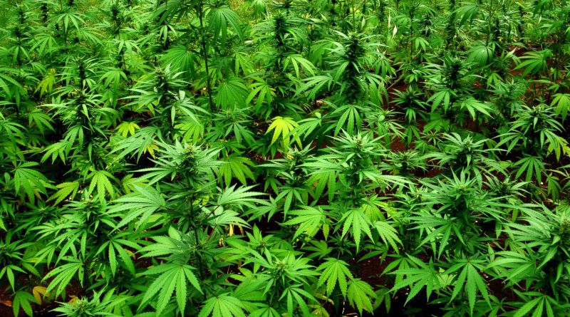 decriminalize weed marijuana in Jamaica