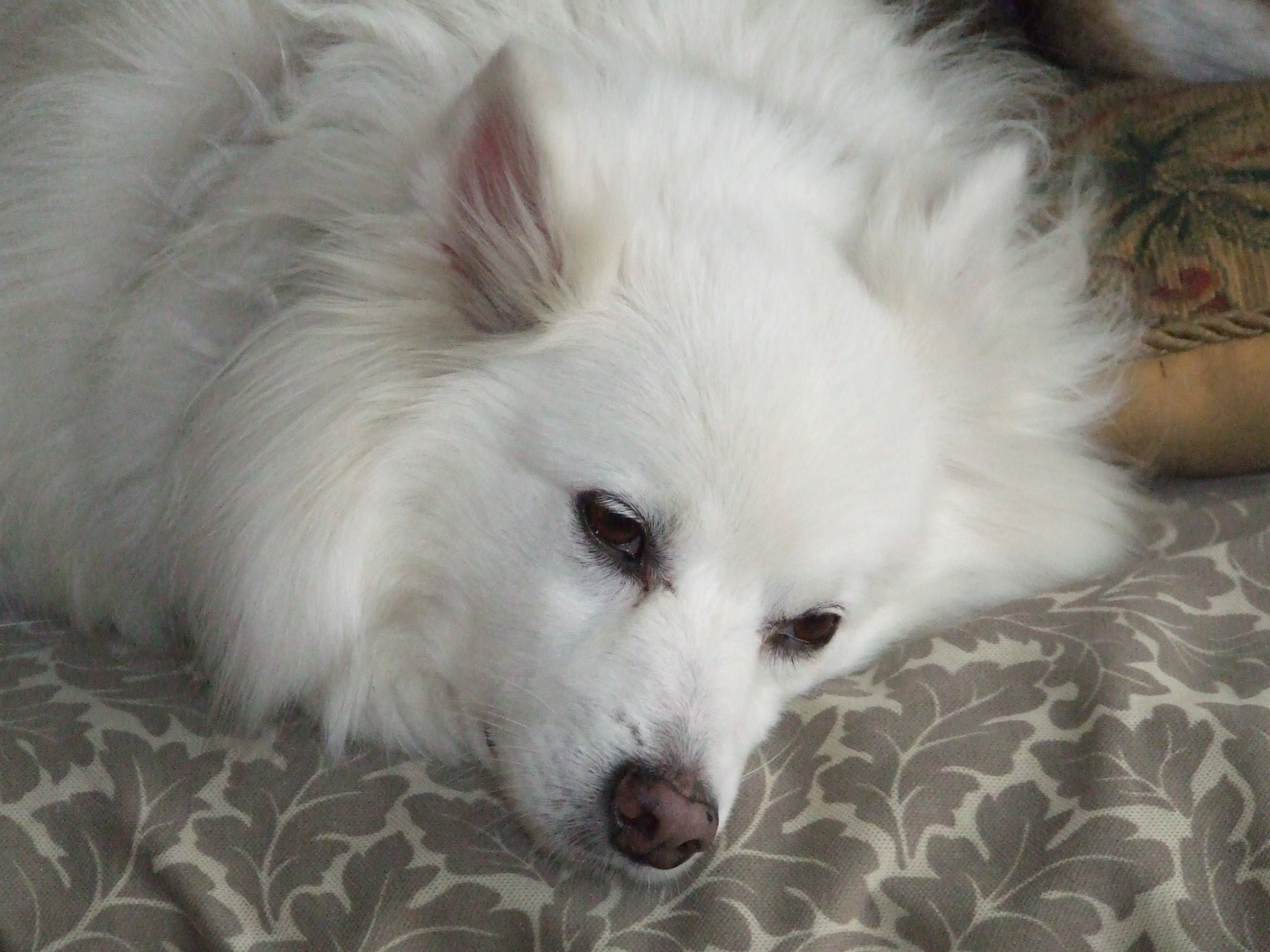 Sparky during quieter times.  He's an American Eskimo Dog.