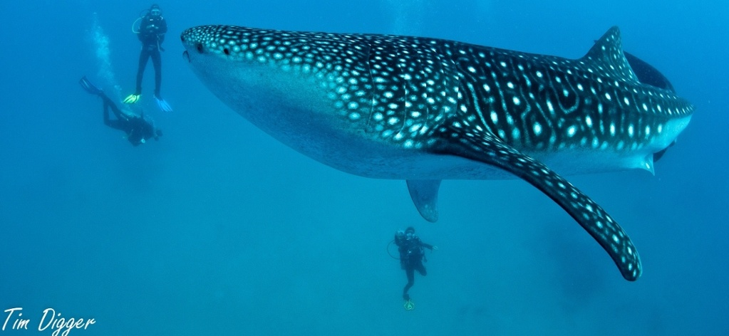 Image result for whale shark gif