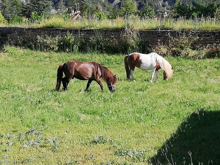 HIERBA. Los ponis ayudarán a controlar la vegetación de la Ciudadela de Jaca.