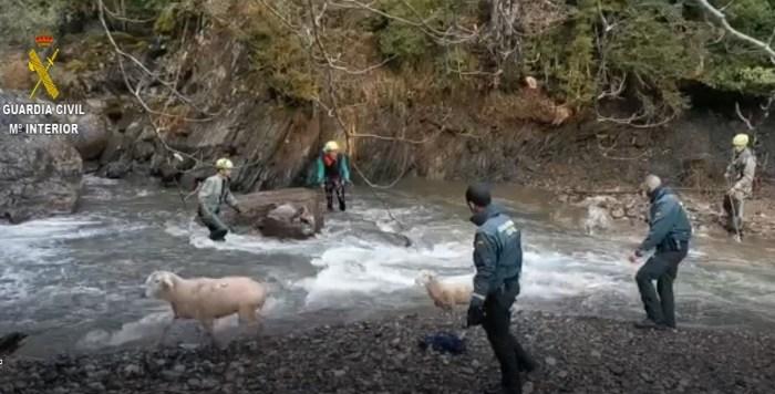 Varias ovejas resbalaron y cayeron al río en la presa de Ízas. (FOTO: Guardia Civil)