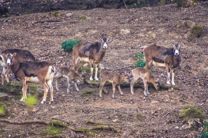 Crías de muflón 2021 (FOTO: Lacuniacha)