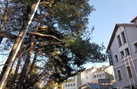 Uno de los pinos afectados. (Foto: Rebeca Ruiz)