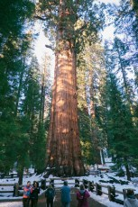 "the ""biggest"" tree in the world"