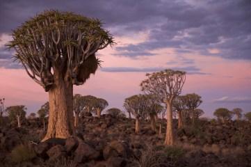 Kokerboom_Namibie