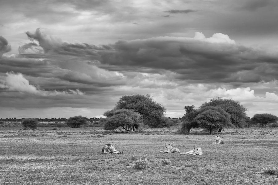 Lion_Kalahari_Botswana