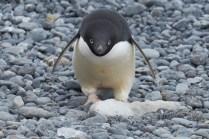 antarctique_manchot_adelie-63-1-1