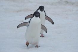 antartique_manchot_adelie-17-1-1