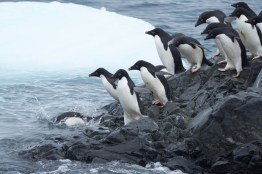 antartique_manchot_adelie-18-1