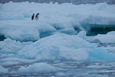 antartique_manchot_adelie-2-4-1