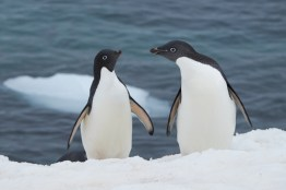antartique_manchot_adelie-33-1