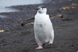 antartique_manchot_jugulaire-13-1