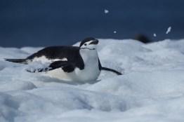 antartique_manchot_jugulaire-64-1-1