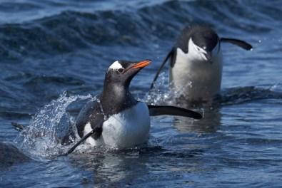 antartique_manchot_papou-6-1-1