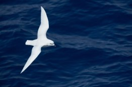 antartique_petrel-60-1