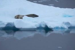 antartique_phoque-2-1