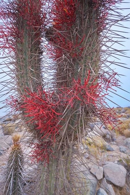 Vicuna_cactus 1