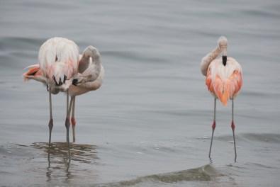 Les flamands de Paracas