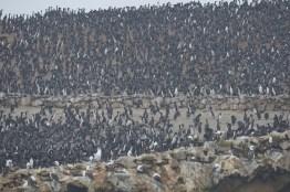 Meeting de cormoran