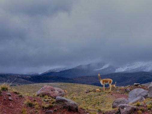 Vigogne sur les pentes du volcan Chimborazo