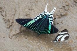 Papillon au campement