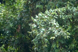 Perroquets verts de l'Amazonie