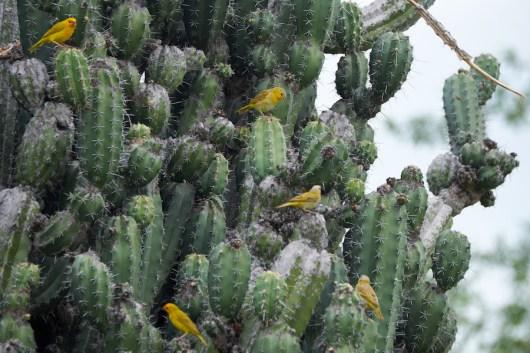 Canaris dans la Tatacoa