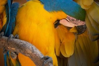 Ara bleu et jaune