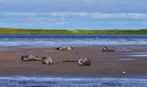 Les phoques communs de Miquelon