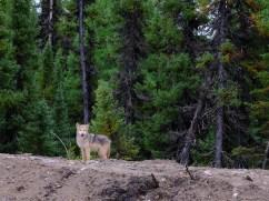 Jeune Loup sur la piste du Labrador