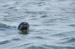 Phoque de Miquelon