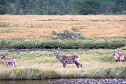 Famille de Caribou dans le parc de Gros Morne
