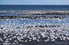Rassemblement d'oies des neiges en bord de mer