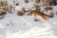 Coyote bondissant