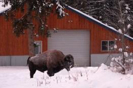 Un bison s'est invité dans le jardin