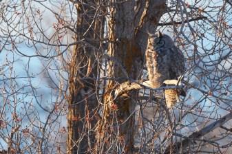 Hibou au Grand Teton