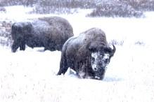 Bison enneigé